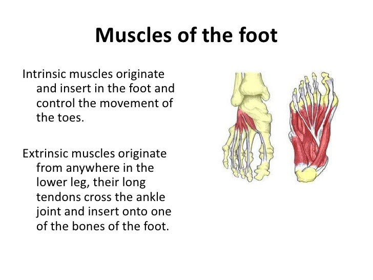 Muscle Anatomy Of Foot Images - human body anatomy