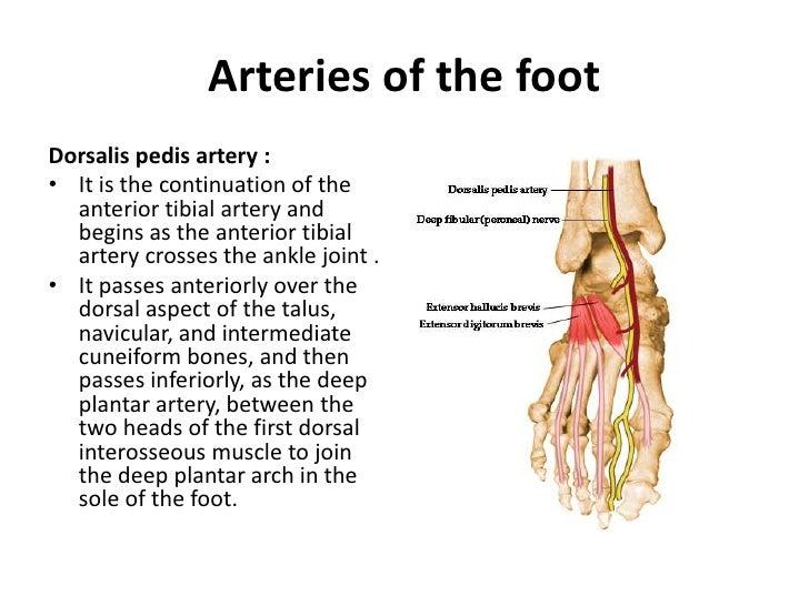 Lower Limb Foot