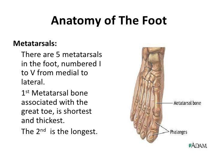 Foot Anatomy Diagram Numbering - Electrical Work Wiring Diagram •