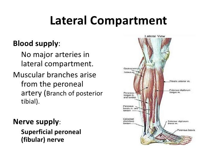 lateral compartment of leg - photo #31