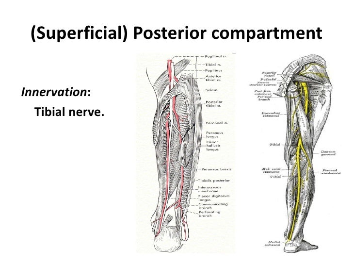 Lower Limb Leg