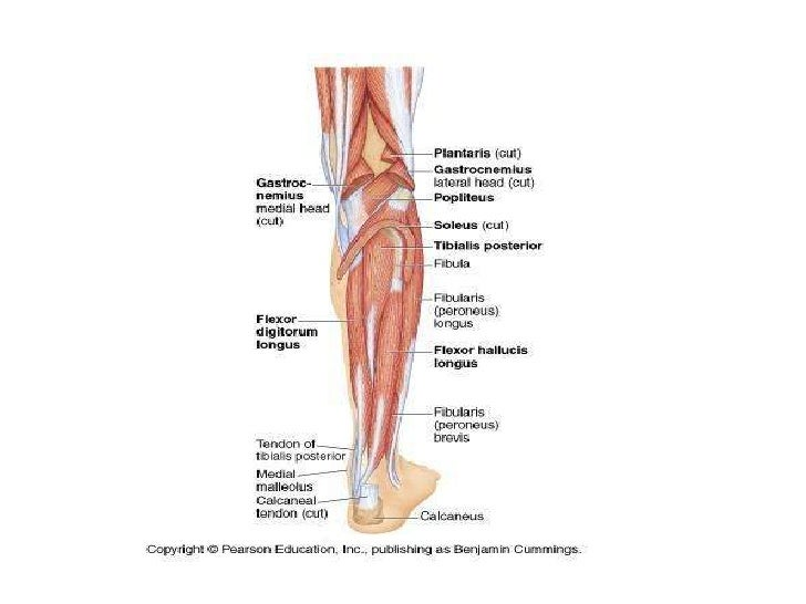 Lower Limb Leg