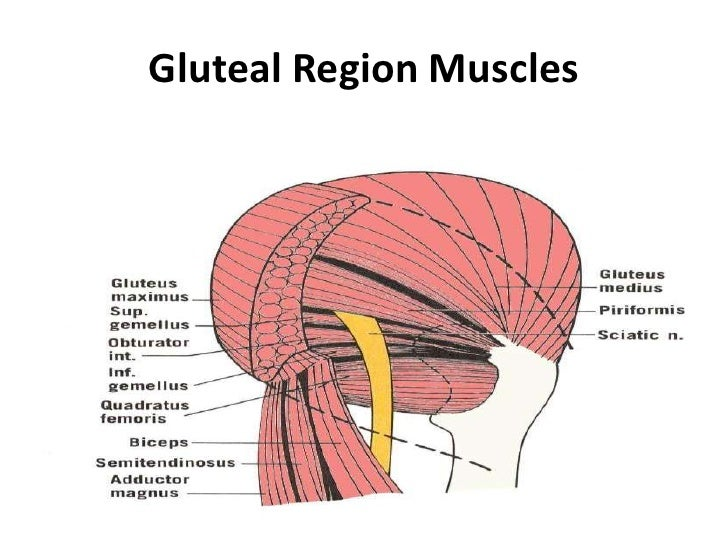 Lower Limb 2 Gluteal Area