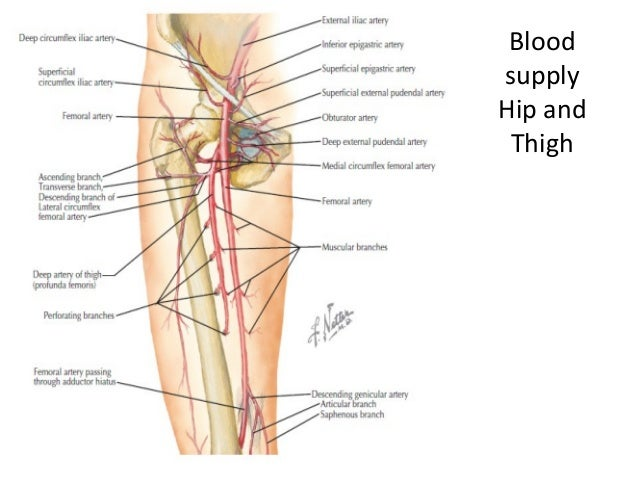 Lower Limb Anatomy Hip And Thigh