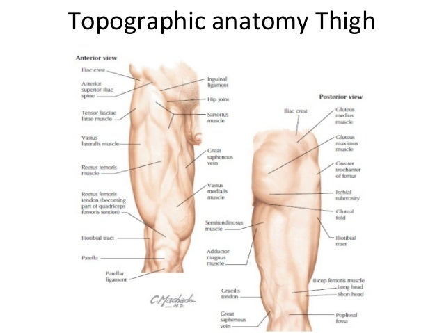Lower Limb Anatomy Hip And Thigh