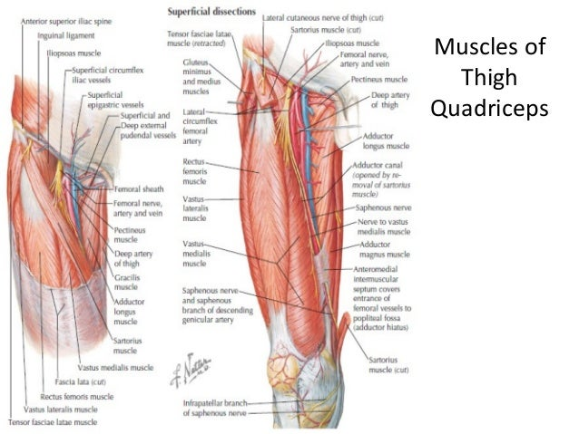 Lower limb anatomy (hip and thigh)