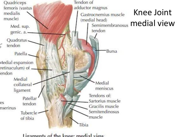Lower limb anatomylect 2 leg muscle origin and insertion ccuart Image collections