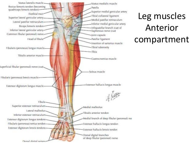 Lower Limb Anatomylect 2
