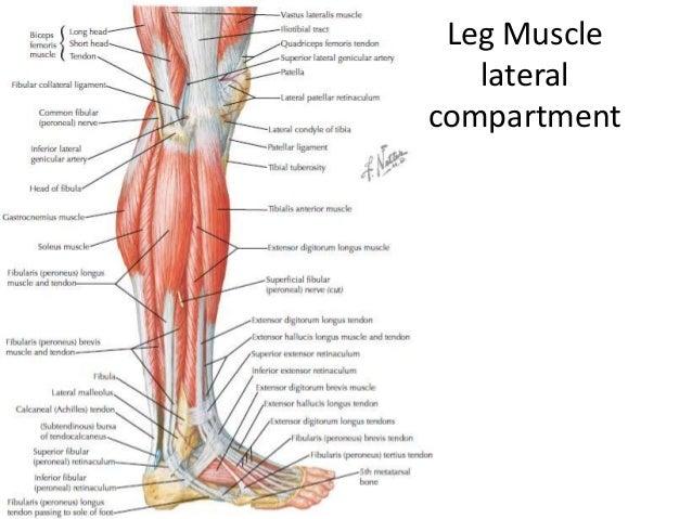 Lower limb anatomylect 2