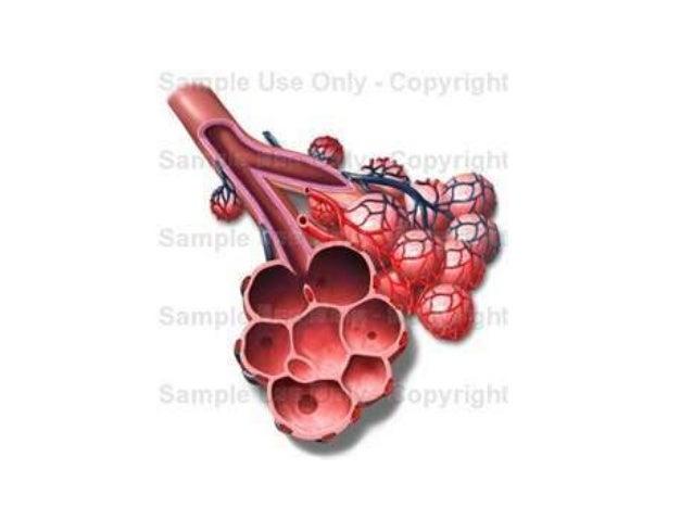 Alveoli Diagram