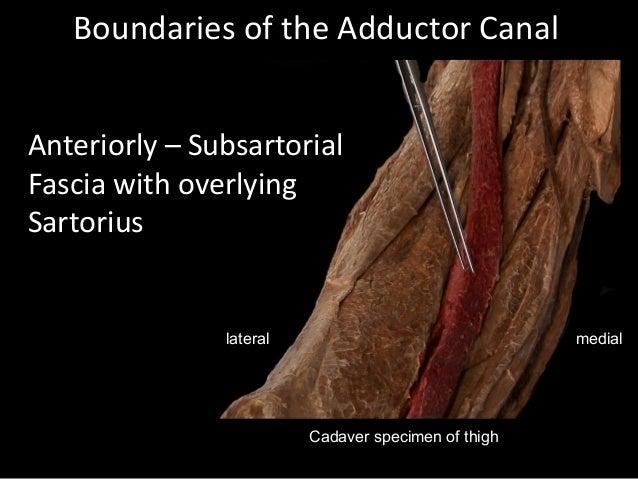 YEDİTEPE ANATOMY LAB |Adductor Brevis Cadaver