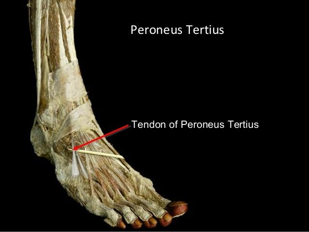 Slideshow: Anterior Leg
