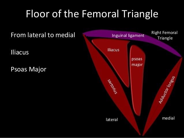 slideshow femoral triangle