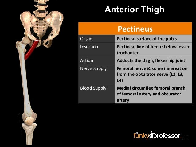 slideshow: femoral triangle, Muscles