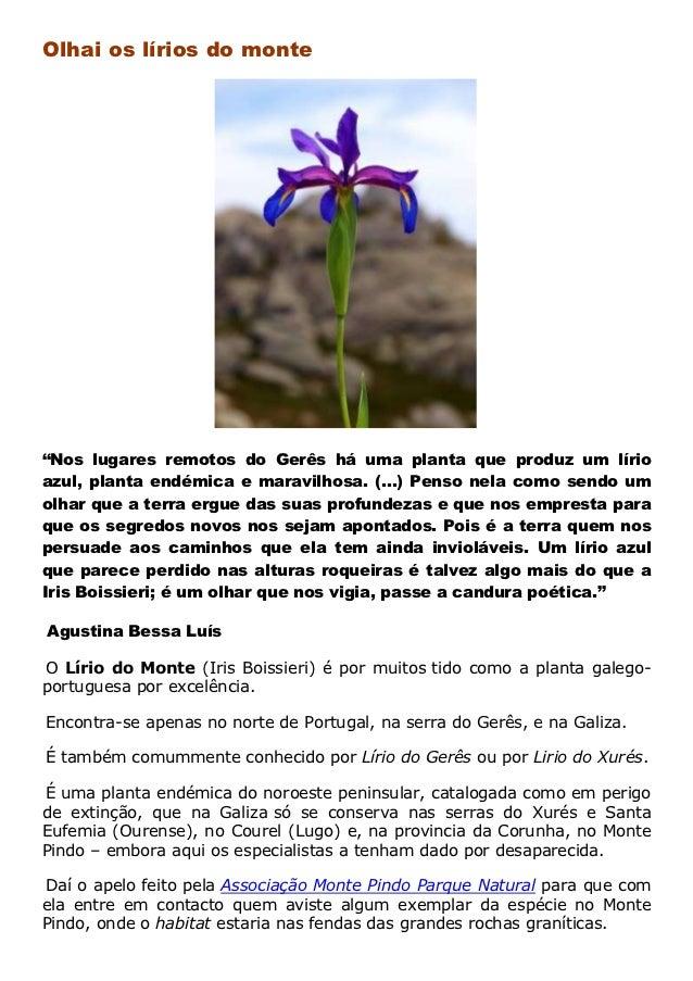"""Olhai os lírios do monte""""Nos lugares remotos do Gerês há uma planta que produz um lírioazul, planta endémica e maravilhosa..."""