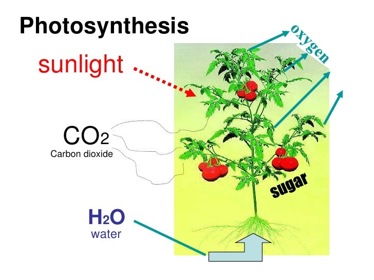 photosynthesis coursework essay Introductionphotosynthesis is how plants get their food the reason why plants have leaves, roots or being green is all linked to photosynthesis in photosynthesis, a plant takes carbon dioxide from the air and water from the soil and uses the light fr.