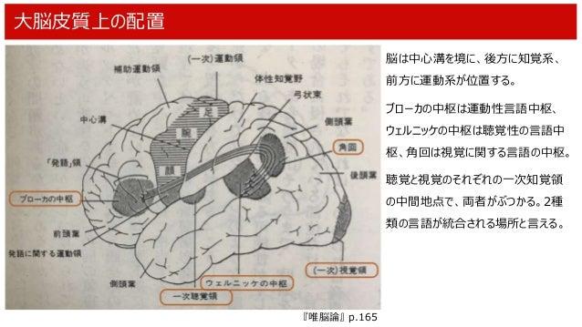 大脳皮質上の配置 脳は中心溝を境に、後方に知覚系、 前方に運動系が位置する。 ブローカの中枢は運動性言語中枢、 ウェルニッケの中枢は聴覚性の言語中 枢、角回は視覚に関する言語の中枢。 聴覚と視覚のそれぞれの一次知覚領 の中間地点で、両者がぶつか...