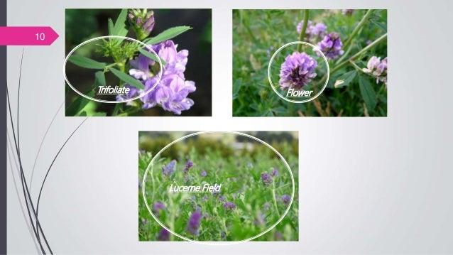 FlowerTrifoliate Lucerne Field 10