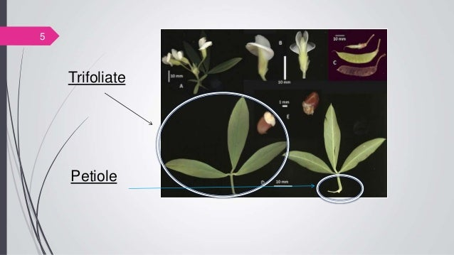 5 Trifoliate Petiole