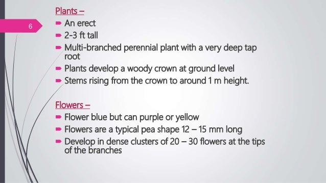 Plants –  An erect  2-3 ft tall  Multi-branched perennial plant with a very deep tap root  Plants develop a woody crow...