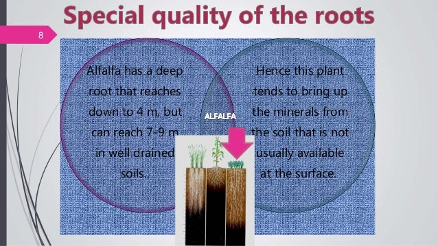 Alfalfa has a deep root that reaches down to 4 m, but can reach 7-9 m in well drained soils.. Hence this plant tends to br...