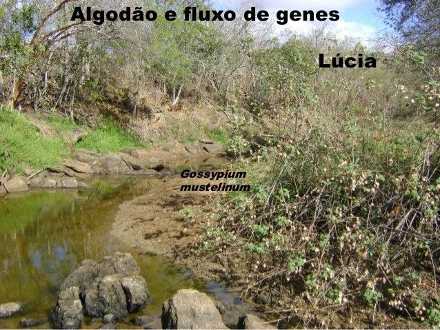 Algodão e fluxo de genes                      Lúcia         Gossypium         mustelinum