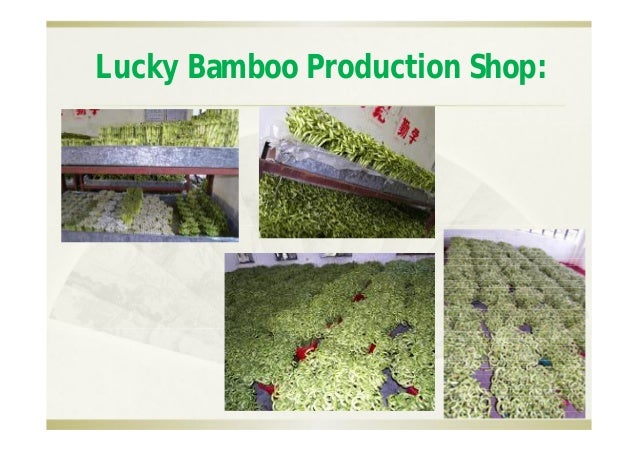 Lucky bamboo nursery meume garden china