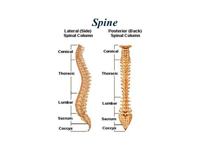 Lumbar and sacral Biomechanics