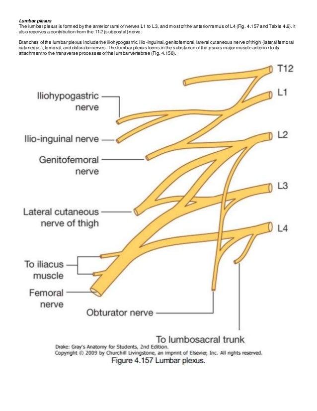 lumbar plexus (grays anatomy), Muscles