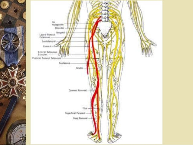 Lumbosacral Plexus And Sciatica