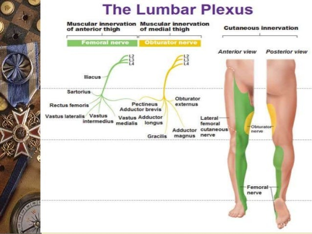 lumbosacral plexus and sciatica, Muscles