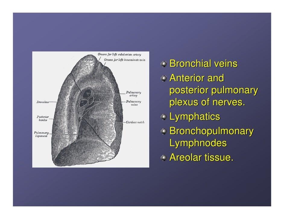 Lung anatomy.