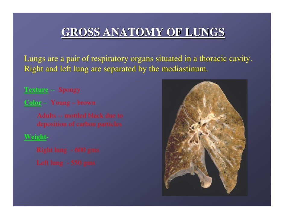 Lung anatomy.