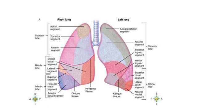 Lung cancer anatomy to pathological classification