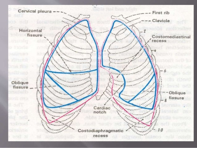 Lungs Anatomy Organs In Thorax