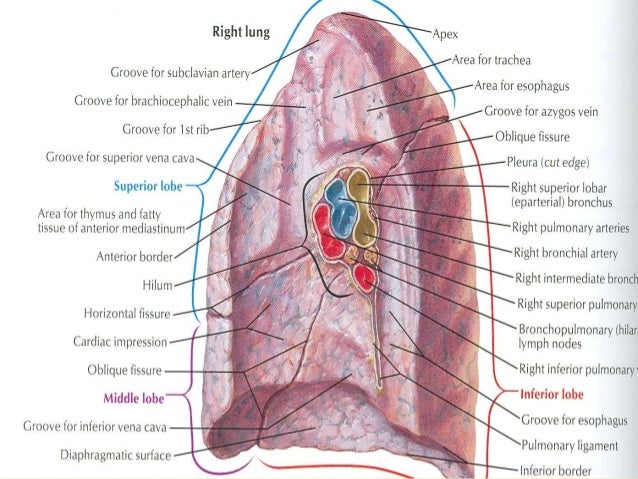 Lungs & bronchopulmonary segments