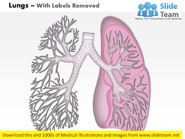 Lungs respiratory system human anatomy medical images for power point lungs with labels removed ccuart Image collections