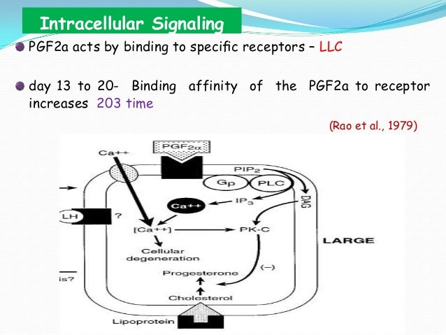 Intracellular Signaling PGF2a acts by binding to specific receptors – LLC day 13 to 20- Binding affinity of the PGF2a to re...