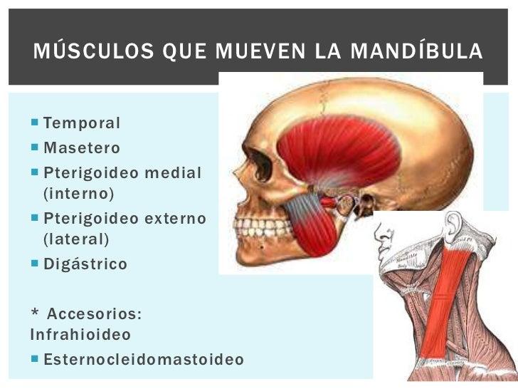 Famoso Los Músculos De La Mandíbula Anatomía Ideas - Anatomía de Las ...