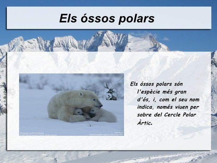 Els óssos polars  <ul><li>Els óssos polars són l'espècie més gran d'ós, i, com el seu nom indica, només viuen per sobre de...