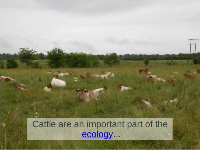 Cattle are an important part of the ecology...