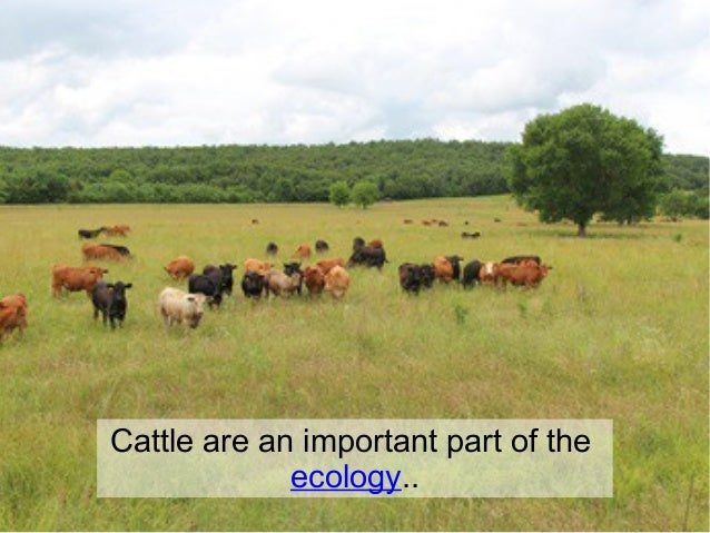 Cattle are an important part of the ecology..