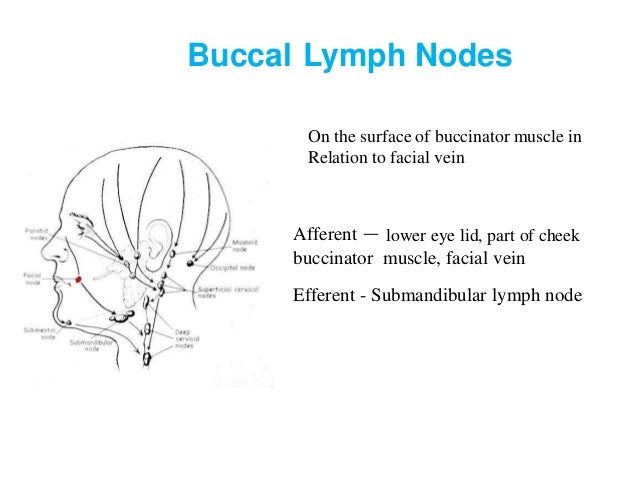 Lymph and lymphatic system 54 submandibular lymph nodes ccuart Gallery