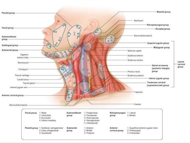 Lymphatic Drainage Of Head Neck