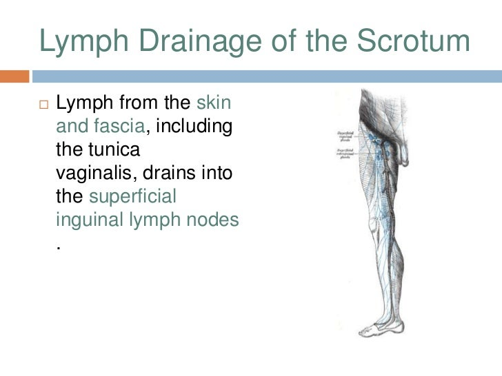 Lymphatic Drainage Of Major Organs