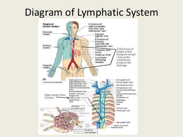 Lymph drainage diagram init lymphatic drainage technique rh slideshare net lymphatic drainage diagram lymphatic drainage system diagram ccuart Images