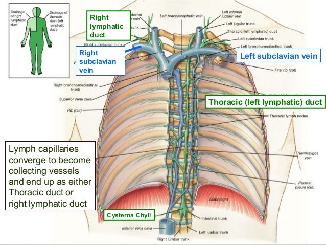 lymphatics of head and neck, Human Body