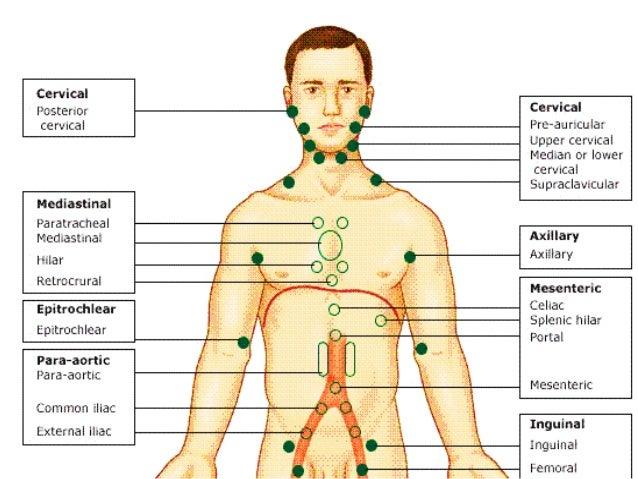 Lymphatic System 24474310