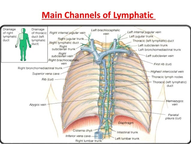 Lymphatic System Ppt