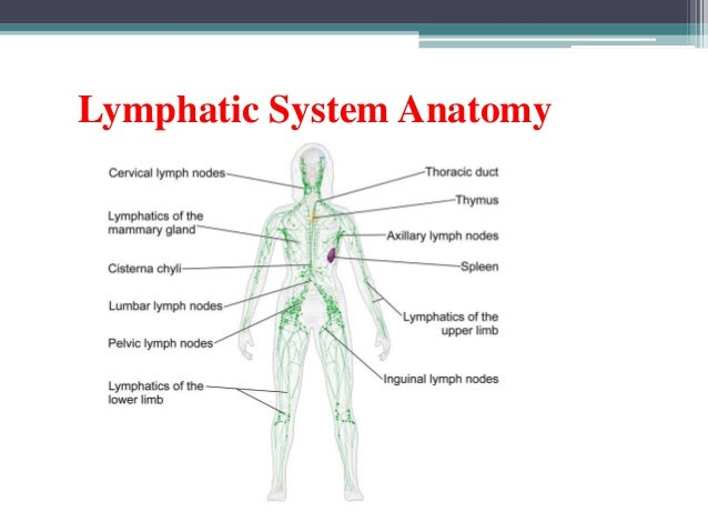 lymphatic system, Human Body